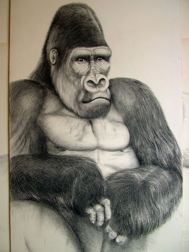Portrait de Gorille (fusain)
